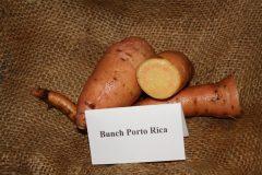 Bunch Porto Rica