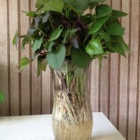 SWEET POTATO PLANTS IN A VASE