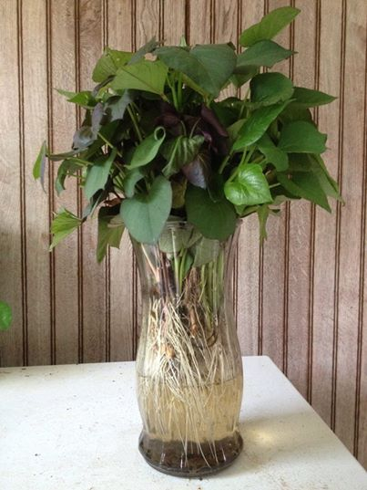 Sweet Potato Plants In A Vase Steele Plant Company Llc